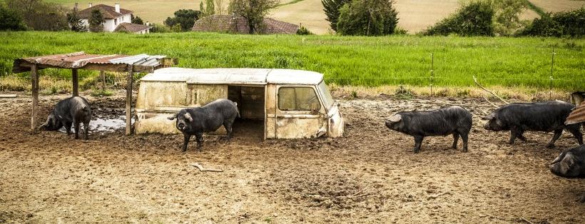 cochons-lacabane-antigaspi-blog_1