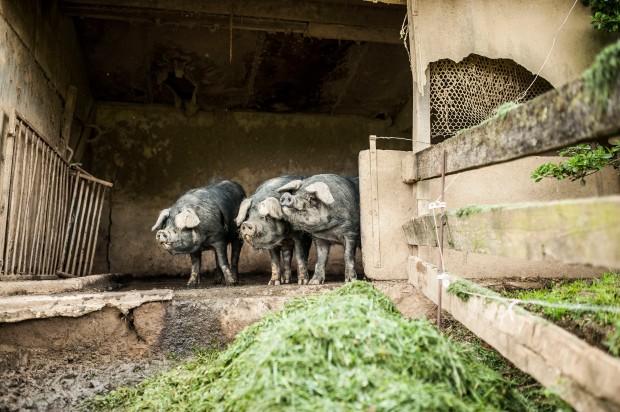 cochons-lacabane-antigaspi-blog_2